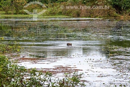 Capivara (Hydrochoerus hydrochaeris) em rio na Reserva Ecológica de Guapiaçu  - Cachoeiras de Macacu - Rio de Janeiro (RJ) - Brasil