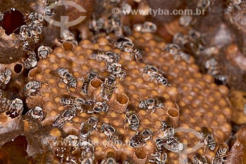 Detalhe de abelha tiúba (Melipona compressipes) - também conhecida com uruçu-cinzenta - em colméia  - Teresina - Piauí (PI) - Brasil