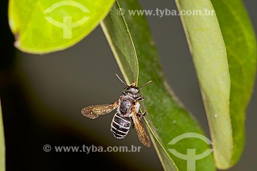 Detalhe de abelha tiúba (Melipona compressipes) - também conhecida com uruçu-cinzenta  - Teresina - Piauí (PI) - Brasil