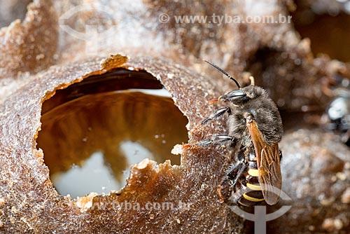 Detalhe de abelha mandaçaia (Melipona quadrifasciata)  - Curitiba - Paraná (PR) - Brasil