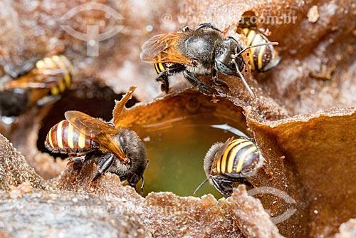 Detalhe de abelhas mandaçaia (Melipona quadrifasciata)  - Curitiba - Paraná (PR) - Brasil