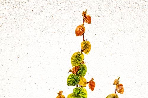 Detalhe de trepadeira unha-de-gato (Ficus pumila)  - Florianópolis - Santa Catarina (SC) - Brasil