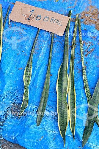 Detalhe de espada-de-são-jorge (Sansevieria trifasciata) à venda próximo a Igreja São Gonçalo Garcia e São Jorge no dia de São Jorge  - Rio de Janeiro - Rio de Janeiro (RJ) - Brasil