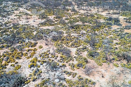 Foto feita com drone de macambiras (Bromelia laciniosa) - vegetação típica da caatinga  - Floresta - Pernambuco (PE) - Brasil