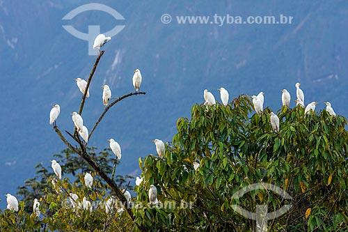 Garça-branca-grande (Ardea alba) na Reserva Ecológica de Guapiaçu  - Cachoeiras de Macacu - Rio de Janeiro (RJ) - Brasil