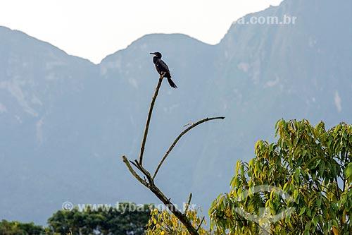Biguá (Phalacrocorax brasilianus) - também conhecido como biguaúna, imbiuá, miuá ou corvo-marinho - na Reserva Ecológica de Guapiaçu  - Cachoeiras de Macacu - Rio de Janeiro (RJ) - Brasil