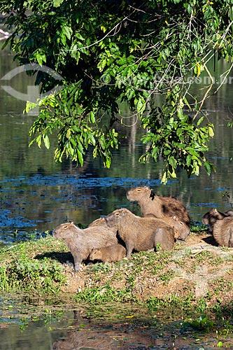 Bando de capivaras (Hydrochoerus hydrochaeris) em rio na Reserva Ecológica de Guapiaçu  - Cachoeiras de Macacu - Rio de Janeiro (RJ) - Brasil