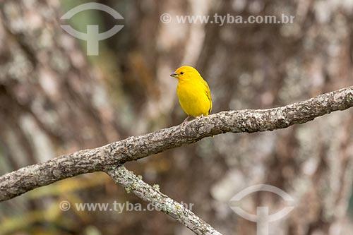 Detalhe de canário-da-terra-verdadeiro (Sicalis flaveola) - também conhecido como Chapinha e Canário-da-horta - no Parque Nacional de Itatiaia  - Itatiaia - Rio de Janeiro (RJ) - Brasil