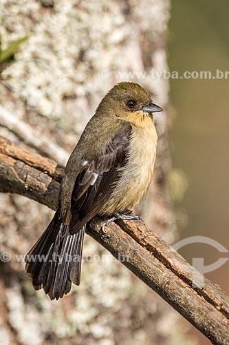 Detalhe de tiê-de-topete (Lanio melanops) no Parque Nacional de Itatiaia  - Itatiaia - Rio de Janeiro (RJ) - Brasil
