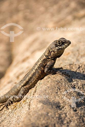 Detalhe de lagarto próximo ao Parque Natural Municipal da Prainha  - Rio de Janeiro - Rio de Janeiro (RJ) - Brasil