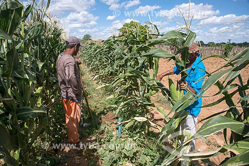 Trabalhadores rurais em plantação de milho irrigada com água captada do Rio São Francisco  - Custódia - Pernambuco (PE) - Brasil