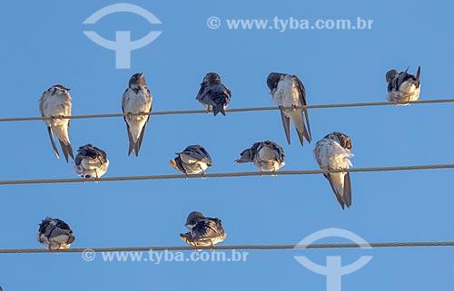 Bando de andorinha-doméstica-grande (Progne chalybea) pousadas em fio elétrico na zona rural da cidade de Guarani  - Guarani - Minas Gerais (MG) - Brasil