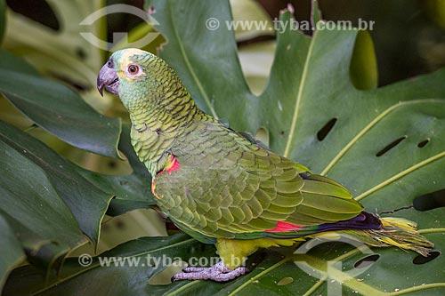 Detalhe de papagaio (Amazona aestiva) no Parque das Aves  - Foz do Iguaçu - Paraná (PR) - Brasil