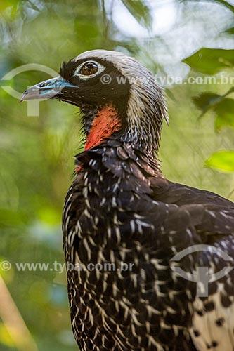 Detalhe de jacutinga (Pipile jacutinga) - também conhecido Jacuapeti, Jacupará ou Peru-do-mato - no Parque das Aves  - Foz do Iguaçu - Paraná (PR) - Brasil