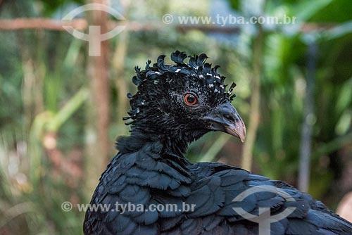 Detalhe de mutum-do-sudeste (Crax blumenbachii) no Parque das Aves  - Foz do Iguaçu - Paraná (PR) - Brasil