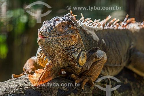Detalhe de iguana verde (Iguana iguana) no Parque das Aves  - Foz do Iguaçu - Paraná (PR) - Brasil