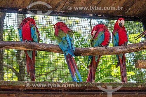 Detalhe de araras-vermelha (Ara chloropterus) - também conhecida como araracanga ou arara-macau - no Parque das Aves  - Foz do Iguaçu - Paraná (PR) - Brasil