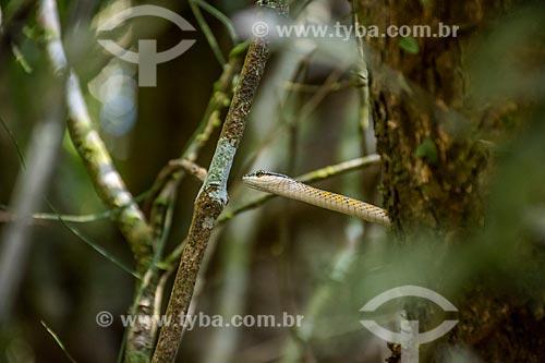 Detalhe de azulão-bóia (Leptophis ahaetulla) no Parque Nacional do Iguaçu  - Foz do Iguaçu - Paraná (PR) - Brasil