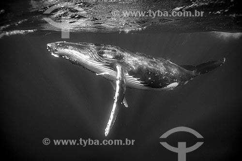 Baleia Jubarte  - Distrito de Vavau - Reino de Tonga