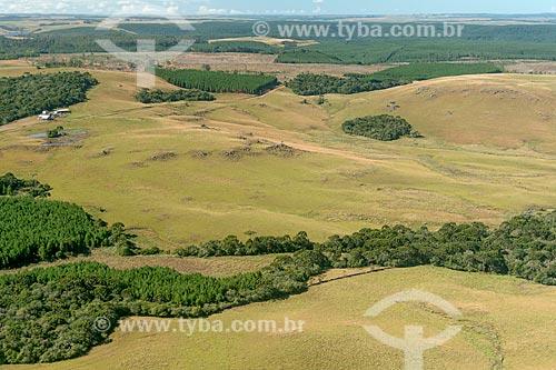 Plantação de Pinus em campos naturais e capões de araucária  - Canela - Rio Grande do Sul (RS) - Brasil