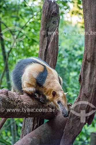 Tamanduá-mirim (Tamandua tetradactyla) no Refúgio Biológico Bela Vista  - Foz do Iguaçu - Paraná (PR) - Brasil