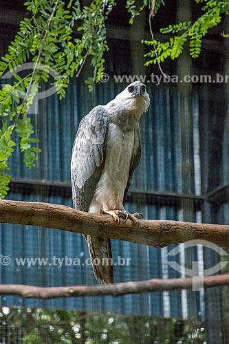 Detalhe de Harpia (Harpia harpyja) no Refúgio Biológico Bela Vista  - Foz do Iguaçu - Paraná (PR) - Brasil