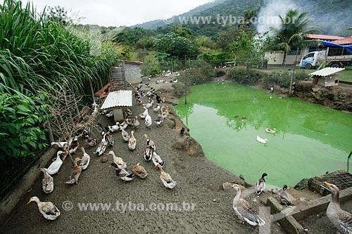 Criação de pato no Sítio Triunfo  - Maricá - Rio de Janeiro (RJ) - Brasil