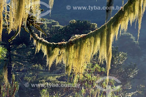 Detalhe de araucária (Araucaria angustifolia) com barba de pau (Tillandsia usneoides) - também conhecida como Barba de Velho  - Urupema - Santa Catarina (SC) - Brasil