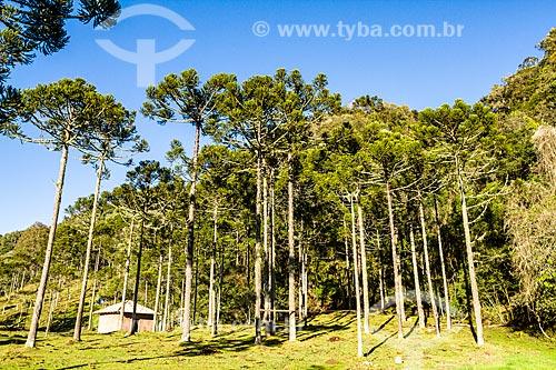 Araucárias (Araucaria angustifolia)  - Urubici - Santa Catarina (SC) - Brasil