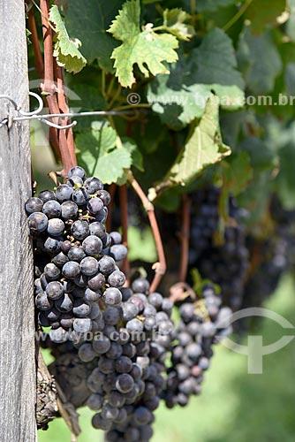 Detalhe de parreiral de uva Merlot em formato de plantio chamado espaldeira  - Bento Gonçalves - Rio Grande do Sul (RS) - Brasil