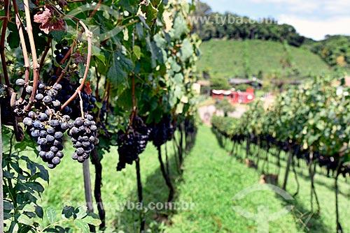 Parreiral de uva Merlot em formato de plantio chamado espaldeira  - Bento Gonçalves - Rio Grande do Sul (RS) - Brasil