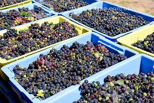 Engradados de uva Seibel para fabricação de vinho  - Bento Gonçalves - Rio Grande do Sul (RS) - Brasil