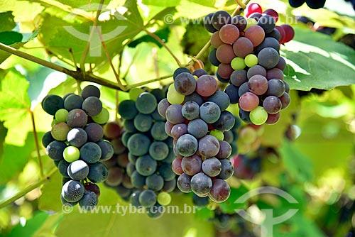 Detalhe de parreiral de uva Isabel em formato de plantio chamado latada, também conhecido como pérgola  - Bento Gonçalves - Rio Grande do Sul (RS) - Brasil