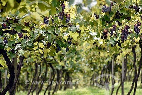 Parreiral de uva Isabel em formato de plantio chamado latada, também conhecido como pérgola  - Bento Gonçalves - Rio Grande do Sul (RS) - Brasil
