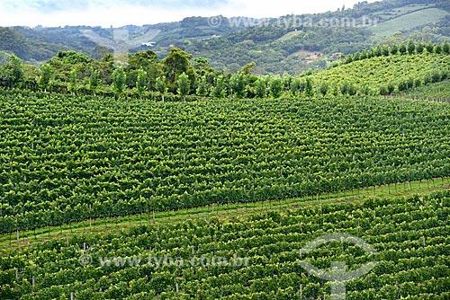 Vista geral de parreiral em formato de plantio chamado espaldeira  - Bento Gonçalves - Rio Grande do Sul (RS) - Brasil