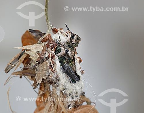 Detalhe de ninho de beija-flor  - Rio de Janeiro - Rio de Janeiro (RJ) - Brasil