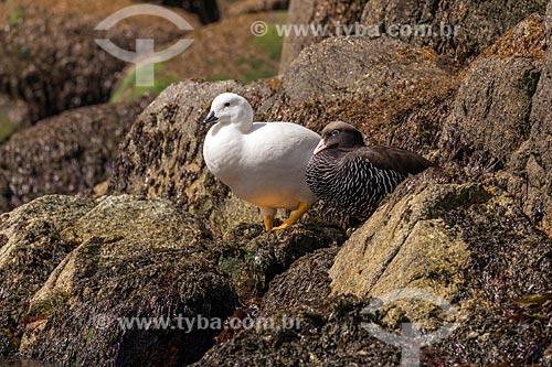 Detalhe de casal de ganso-papa-alga (Chloephaga hybrida) no Estrecho de Magallanes (Estreito de Magalhães)  - Província Terra do Fogo - Chile