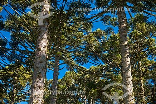 Floresta de araucária (Araucaria angustifolia) na Serra Gaucha  - Canela - Rio Grande do Sul (RS) - Brasil