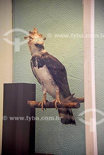 Harpia (Harpia harpyja) empalhada em exibição no Museu Nacional - antigo Paço de São Cristóvão  - Rio de Janeiro - Rio de Janeiro (RJ) - Brasil
