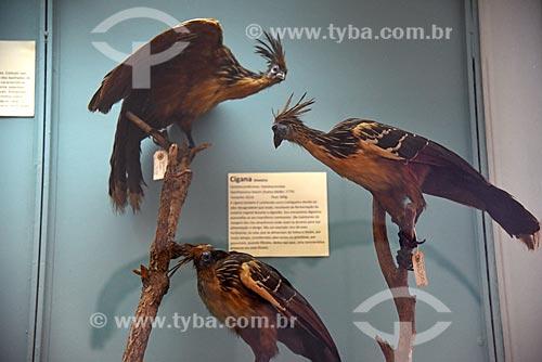 Detalhe de jacu-ciganos (Opisthocomus hoazin) empalhadas em exibição no Museu Nacional - antigo Paço de São Cristóvão  - Rio de Janeiro - Rio de Janeiro (RJ) - Brasil