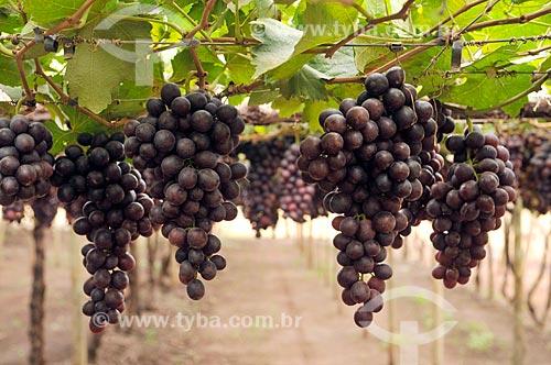 Detalhe de parreiral de uva Brasil em formato de plantio chamado latada, também conhecido como pérgola  - São Francisco - São Paulo (SP) - Brasil