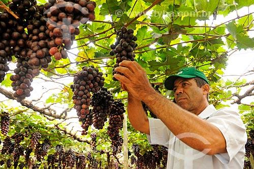 Detalhe de trabalhador rural colhendo uva Brasil em formato de plantio chamado latada, também conhecido como pérgola  - São Francisco - São Paulo (SP) - Brasil