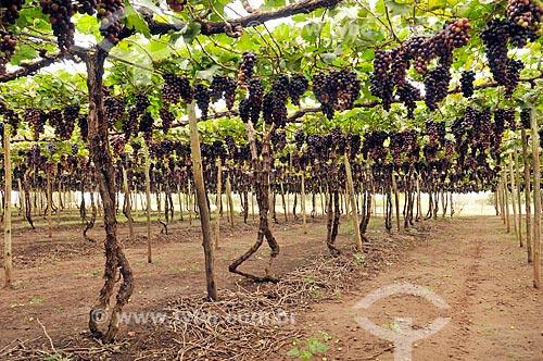 Parreiral de uva Brasil em formato de plantio chamado latada, também conhecido como pérgola  - São Francisco - São Paulo (SP) - Brasil