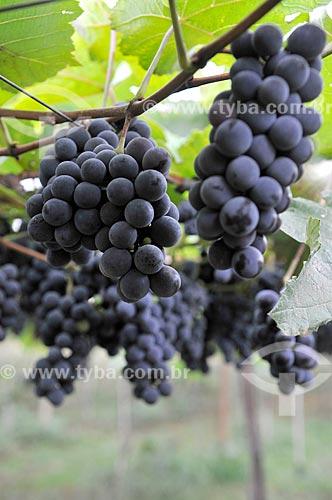 Detalhe de parreiral de uva Isabel em formato de plantio chamado latada, também conhecido como pérgola  - São Francisco - São Paulo (SP) - Brasil
