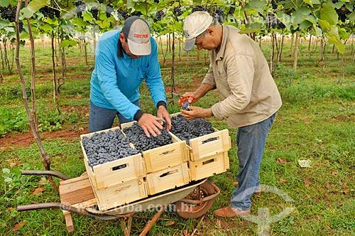 Detalhe de trabalhadores rurais colhendo uva Isabel  - São Francisco - São Paulo (SP) - Brasil