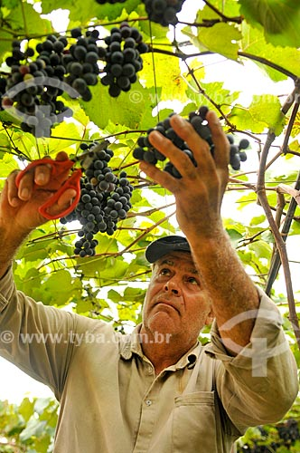 Detalhe de trabalhador rural colhendo uva Isabel  - São Francisco - São Paulo (SP) - Brasil