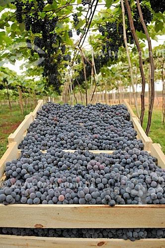Detalhe de uva Isabel durante colheita  - São Francisco - São Paulo (SP) - Brasil