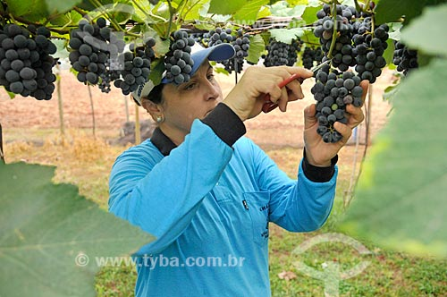 Detalhe de trabalhadora rural colhendo uva Isabel  - São Francisco - São Paulo (SP) - Brasil