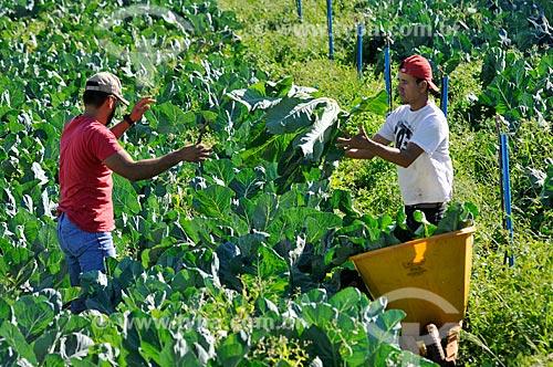 Detalhe de trabalhadores rurais colhendo couve-flor  - Neves Paulista - São Paulo (SP) - Brasil