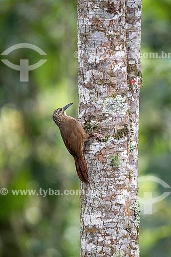 Detalhe de arapaçu-grande (Dendrocolaptes platyrostris) na Área de Proteção Ambiental da Serrinha do Alambari  - Resende - Rio de Janeiro (RJ) - Brasil